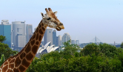 204_giraffe.JPG