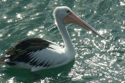 1705_pelikane.JPG